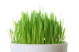 Todd's Seeds, Wheatgrass Seeds, One Pound, Cat Grass Seeds,