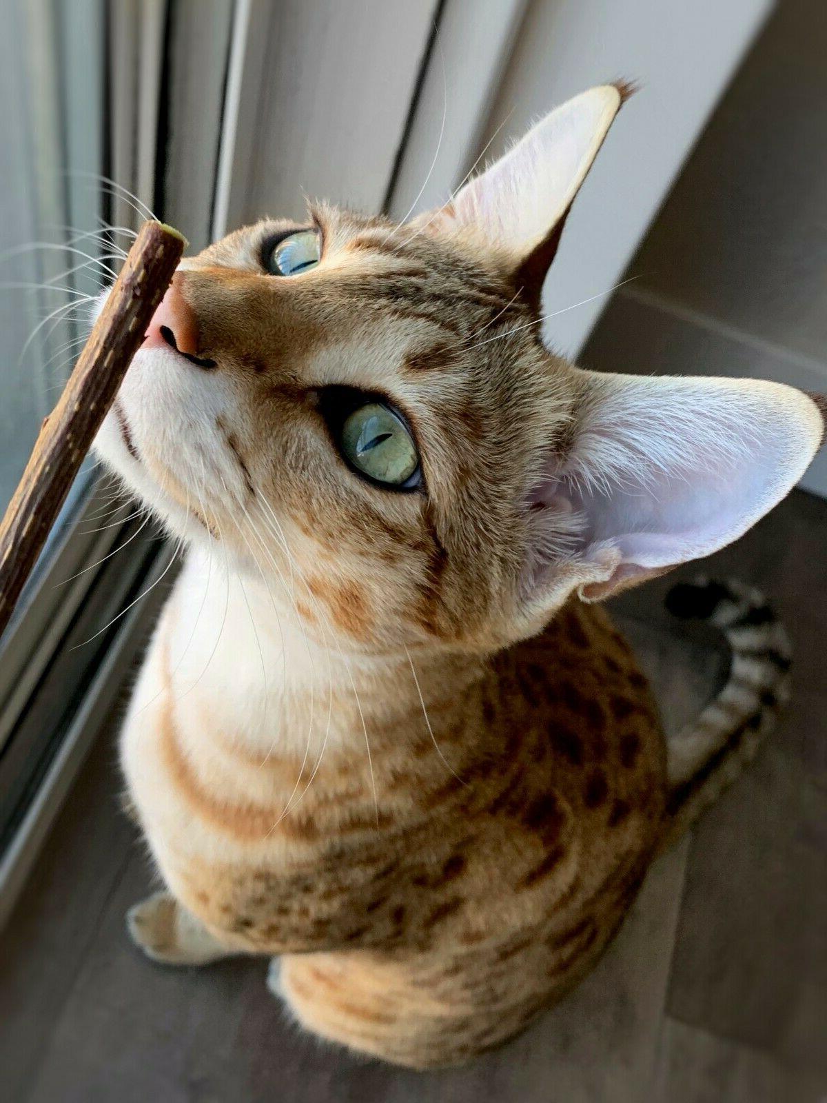 Matatabi Chew Silvervine Cat Toy- Catnip Alternative- All