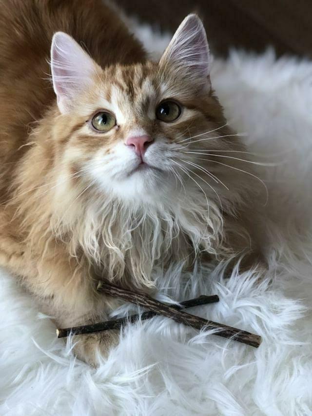Matatabi Sticks- Cat Catnip All Natural